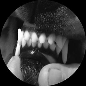 прикус ножницеобразный у собак фото